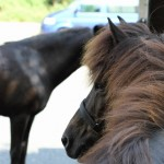 Die Pferde warten brav