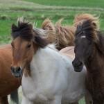 Islandpferde auf Island